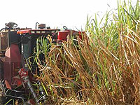 Fitomas-M, a sugar cane ripener developed in Cuba, used to accelerate the ripening process, is today a firm friend of those cultivating this crop and according to experts here in the capital, it contributes to increased sugar yields per area.