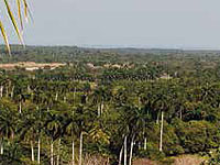 From a small elevation in the region of Buenavista, Remedios, in North-Central Cuba, you can enjoy the beautiful outlook onto one of the most special valleys of the largest island of the Antilles, boasting thousands of royal palms; by law, the national tree of Cuba.